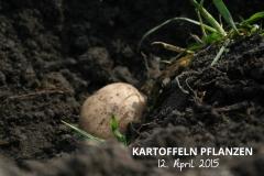 Kartoffeln_pflanzen_2015_KartoffelpflanzenA_titelbild